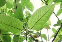 kratom-leaves