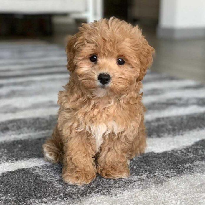 labradoodle for adoption